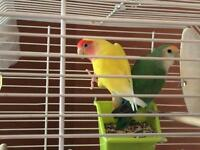 Pair of love birds and cage