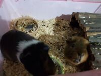 Two guinea pigs need rehoming