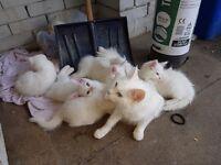 5 gorgous pure white kittens