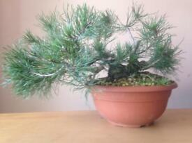 Quality Shohin Size Mugo Pine Raw Bonsai Material