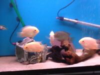 Tropical fish - Severums £8 each