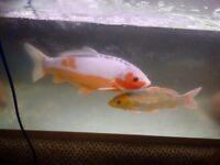 2Koi carps & 4ft Juwel fish tank