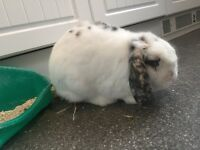 1 Year old Male English lop