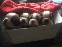 Red Boston Terrier puppies for sale