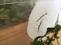 Indian baby stick insects