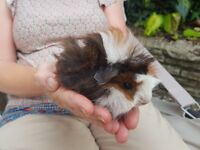 Baby guinea pigs in a family home environment