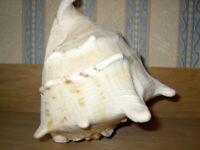Natural sea shell