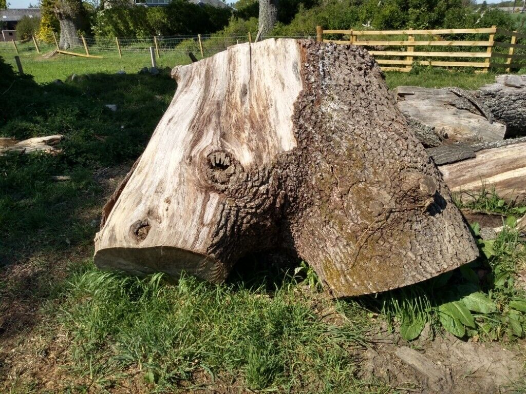 Large oak crotch in inverness highland gumtree