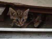 Cute Tiger Kitten (female)