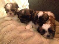 Shihtzu Puppies 3 Girls 1 Boy