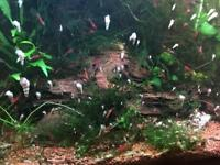 Cherry Shrimp's