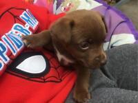 Jack Russel cross patterdale ( patterjack ) puppies