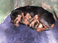 Mastiff/Rottweiler cross pups