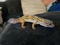Large male leopard gecko..