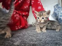 Half bengal kittens for sale 1 male 3 females