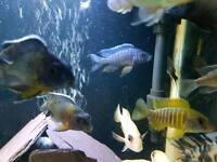 Mixed peacock cichlids