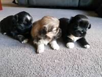 Lhasa also puppies