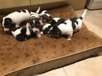 6 Jack Russell pups for sale, ready to go on 21st March 2018 Mum and dad can be seen