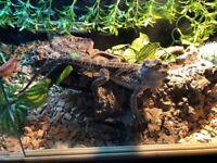 Baby Bearded Dragon and vivarium