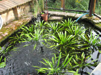 pond plants water soldiers