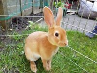 Mini Rex Rabbit - Baby - £35 Surbiton London