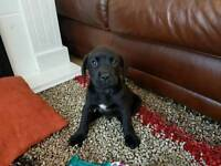 Gorgeous labrador boxer mix 9 weeks old