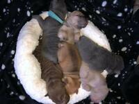 **Sharpei Pups Born 22nd Nov**
