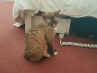 Neutered Male Devon Rex Cats looking for a new home!