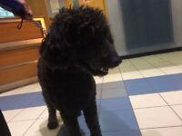Black female labradoodle found in Milngavie. Handed over to Govan police station.
