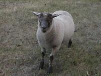 Sturdy ram-lamb for sale