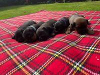 Patterdale/Lakeland Puppies