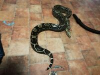 Very large tame snake