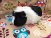 ** SWEET FEMALE GUINEA PIG **