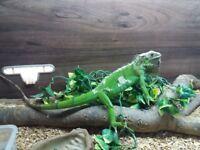 Green iguana with his vivarium for sale £250 ono