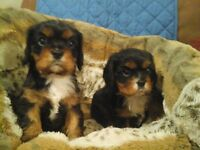 Adorable Pedigree Cavalier King Charles Spaniel BOY Puppies