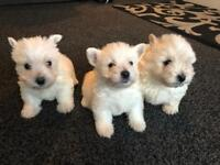 westhighland white puppies for sale