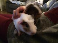 Guinea pig bundle, includes 2x male guinea pigs