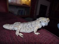 male bearded dragon and viv