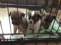One girl left Jack Russell cross shih tzu puppies