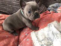 French bulldog puppies for deposit