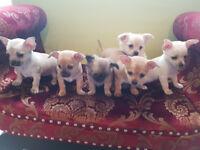 chihuahua puppys 3 male 3 female