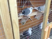 Very attractive pigeons for sale