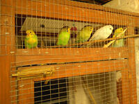 Collection of 20 Adult and Baby Budgies