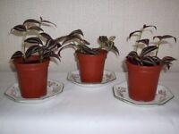 Tradescantia House Plants