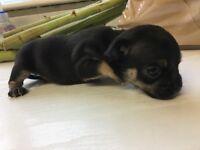 Chug puppies for sale