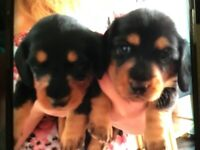 Long haired dachshund puppies