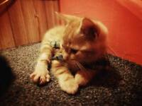 Extremely rare ginger marble pattern bengal cross kittens for sale