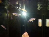 Tanganyikan cichlids and fish tank with sump For Sale in Alfreton