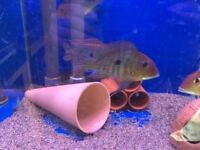 5 OFF GEOPHAGUS RED HEAD TAPAJOS(REDUCED)