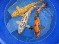 KOI END OF SEASON FROM £2 EACH
